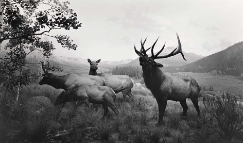 """Wapiti"" photo by Hiroshi Sugimoto - 1980 
