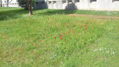 champ de fleurs coquelicots