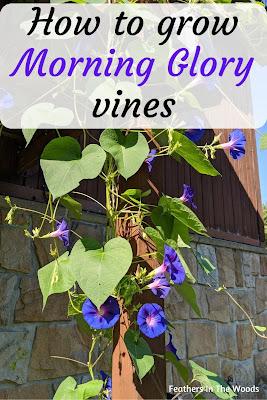 Growing morning glories