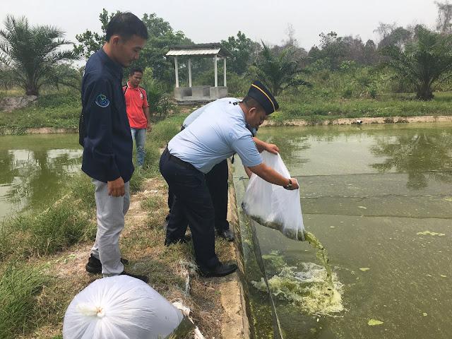 Penaburan benih ikan tembakang ke Kolam pembesaran