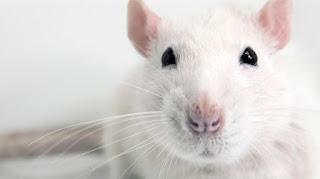 تفسير رؤية الفأر الأبيض في المنام
