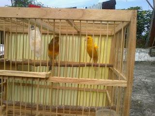 Proses Penjodohan Yang Baik Dan Benar Dalam Menangkarkan Burung Kenari - Solusi Penangkaran Burung Kenari
