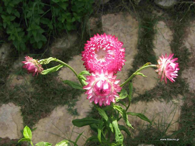 Ελίχρυσο σπορά φύτεμα καλλιέργεια