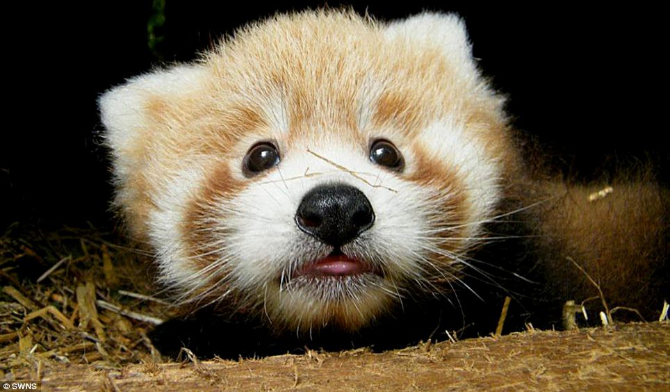 Just too cute! Adorable red panda cubs born at British zoo ...