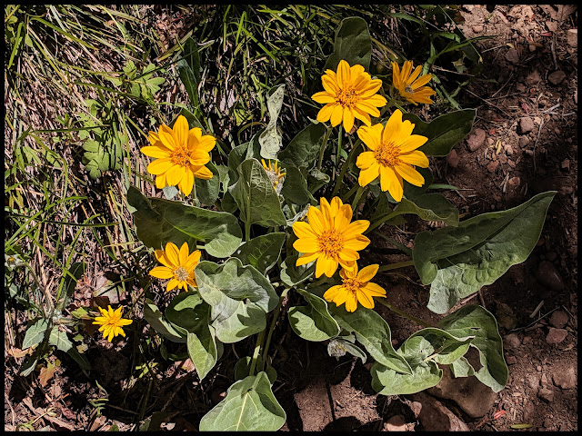 Balsam Arrowroot Flowers along the trail at the top.
