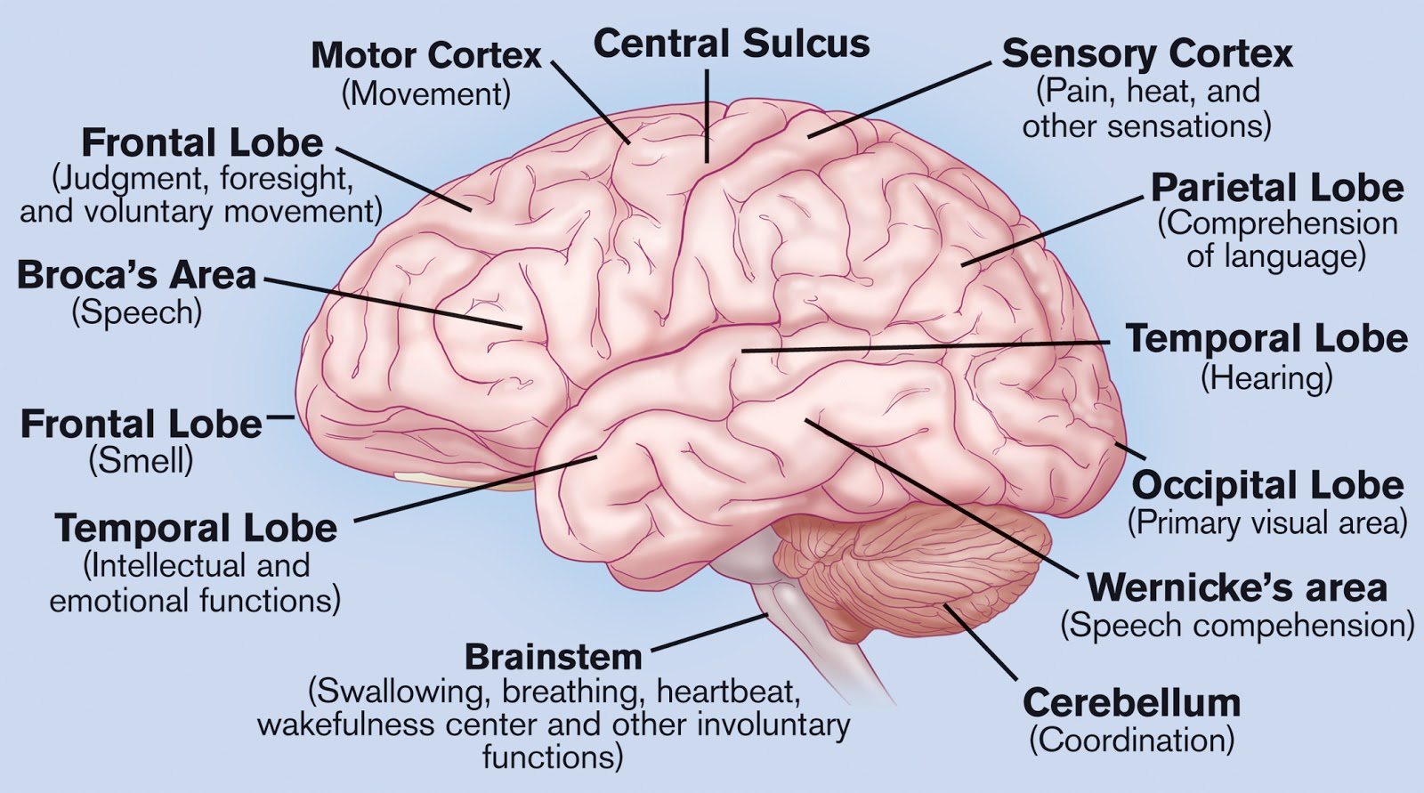 Brain Labeled