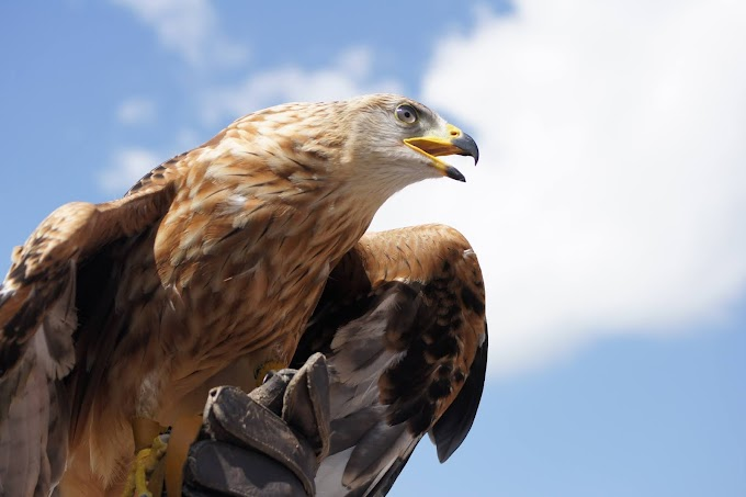 Golden Eagle And Its Features