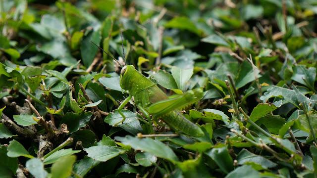 belalang bogor