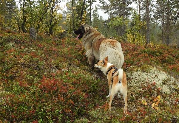 leonberger lundehund