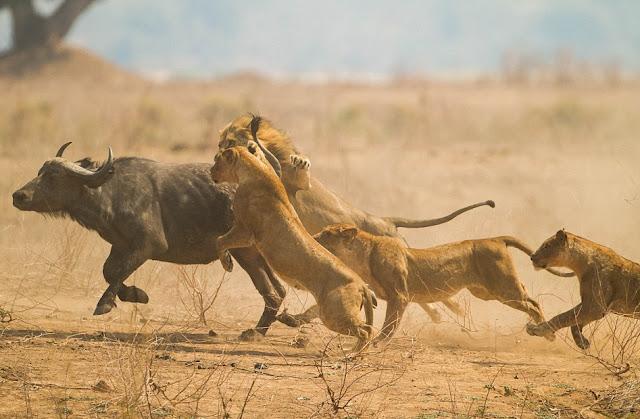 Curiosidades sobre los leones. Lo que debes saber sobre el rey de la selva. Una manada de leonas cazando un búfalo