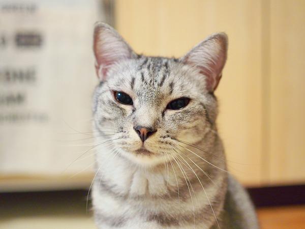 涙目のサバトラ猫