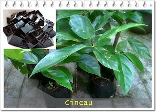 tanaman obat tradisional cincau