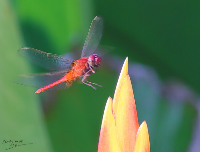 Red Dragonfly landing on flower