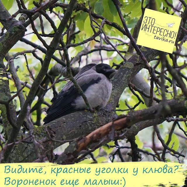 воронята на дереве