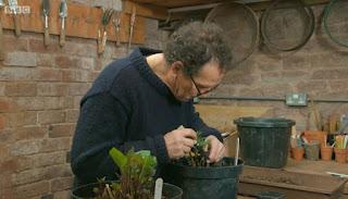 Monty Don Takes Dahlia cuttings