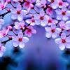 Mengulik Fakta dan Keindahan Bunga Sakura