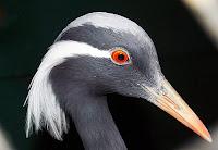 Bir telli turna kuşunun başının yakından görünüşü
