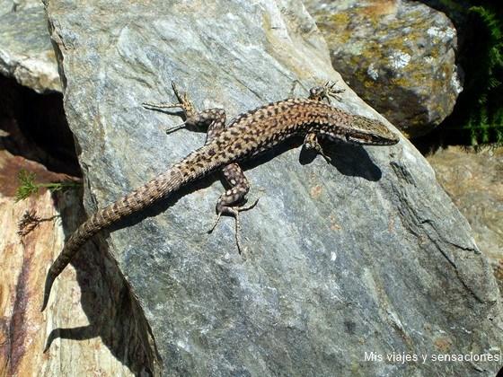fauna,  Valle del Cardós, Pirineo Catalán