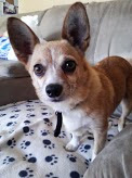 Chihuahua corgi mixed dog named Pixie