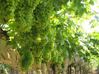 Cara Budidaya Anggur Agar Cepat Berbuah