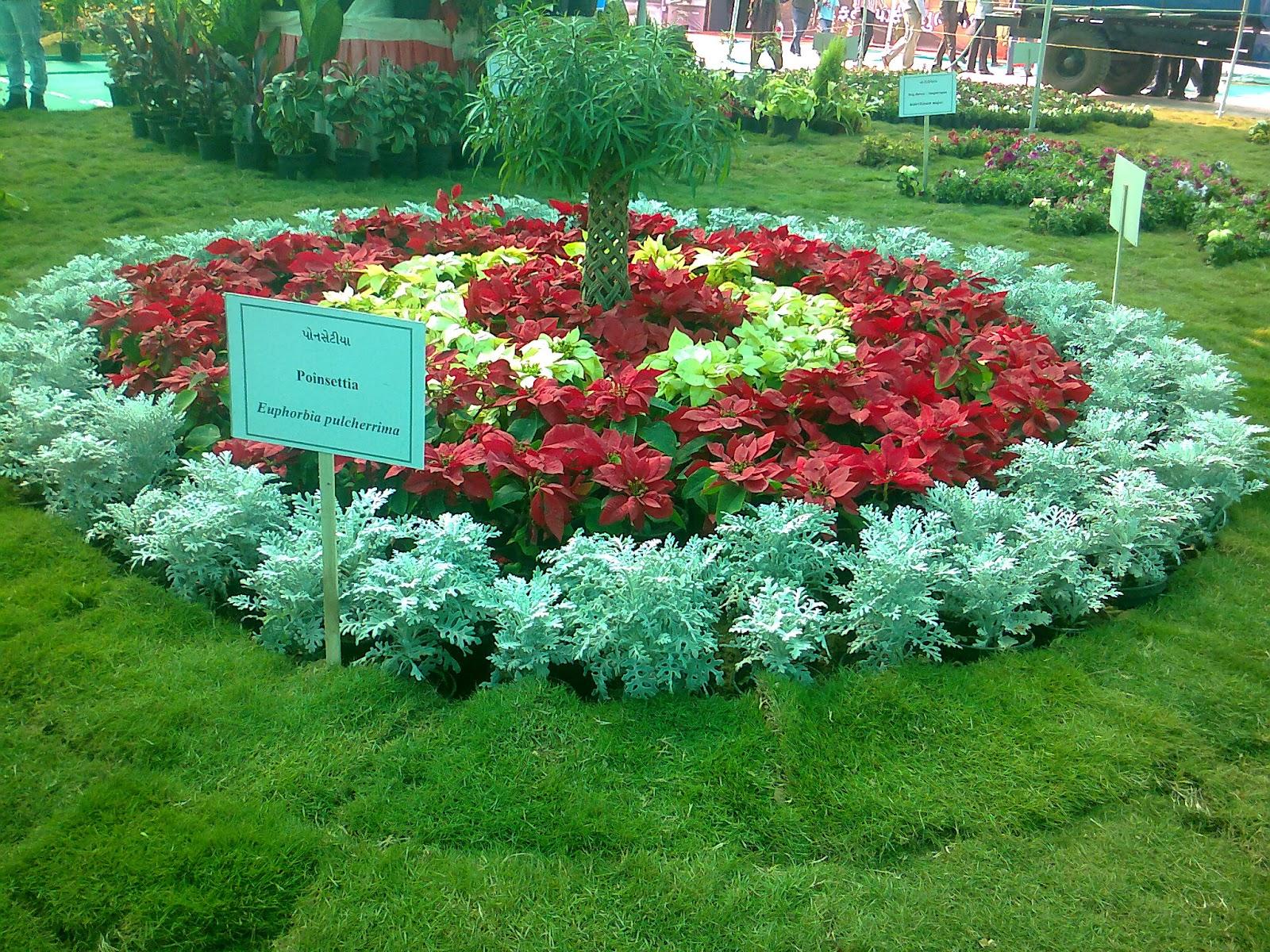 red white poinsettia plant