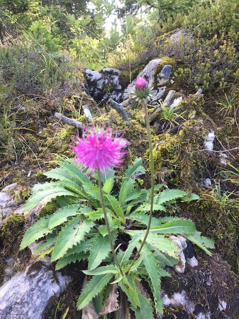 lila blühende Alpenpflanze