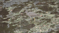 Wandering Tattler foraging for food – Ala Moana canal, Waikiki, Oahu - © Denise Motard
