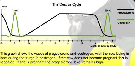 The Oestrus/Estrus Cycle - Vet in Training