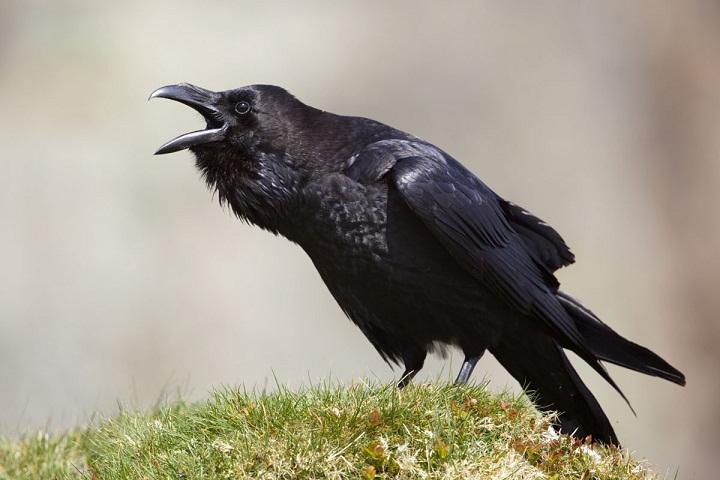 Mengapa Burung Gagak Sering Bertengkar? | Belajar Sampai Mati