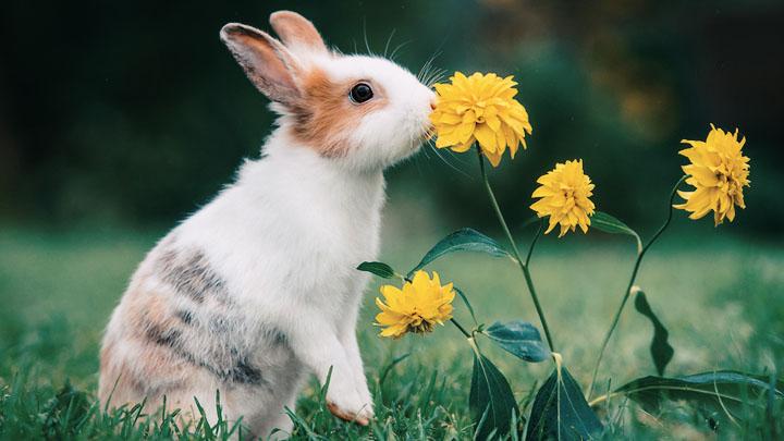 rabbits-as-house-pets