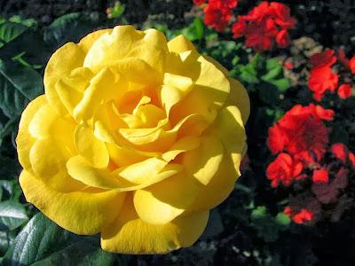 yellow_rose