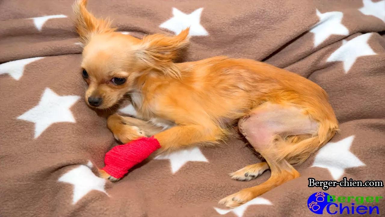 Luxation rotule chien