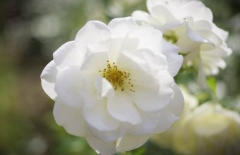 white rose images, flowers dp