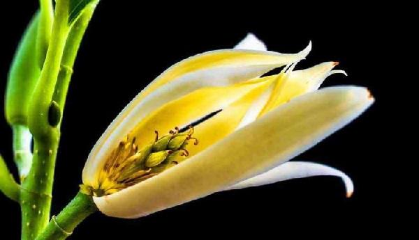 Gambar bunga kantil kuning
