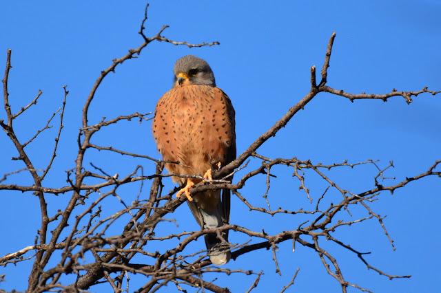 Falco rupicolus