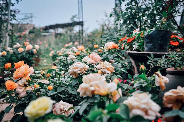 Dải hồng trên lối đi ra vườn hồng cổ Sapa