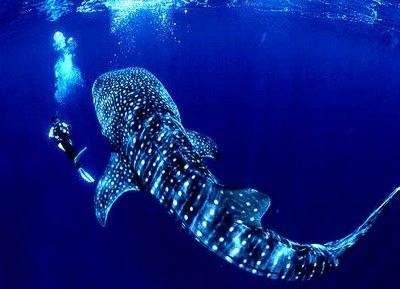 WHAT IS THE WORLD'S BIGGEST SHARK? |The Garden of Eaden