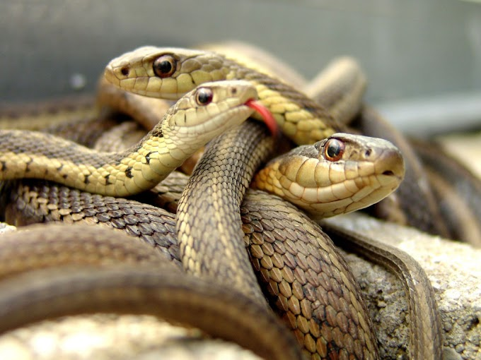 22 fun facts about snakes.  Snakes in English - ← Maxfact →     Amazing facts about Snakes in Hindi - interesting facts about snakes