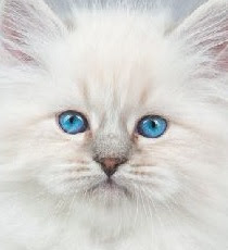 Norwegian Forest Cat vs Siberian Personality, Size, Lifespan, Price