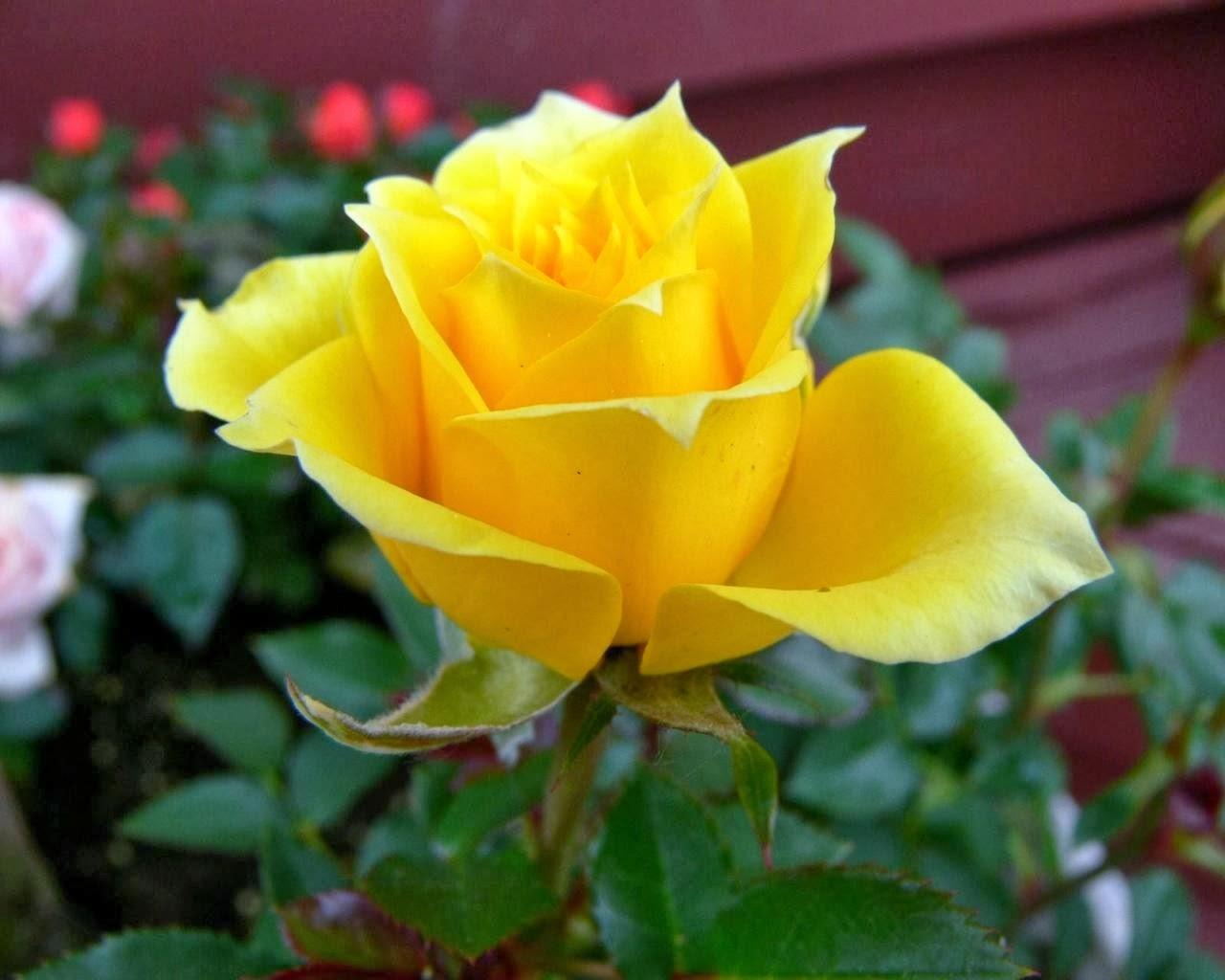 One Yellow Rose