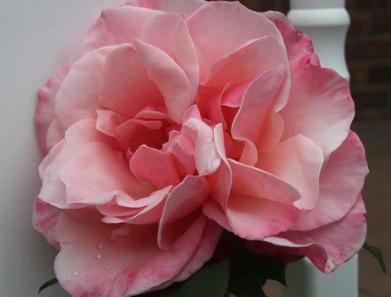 friendship-pink-rose