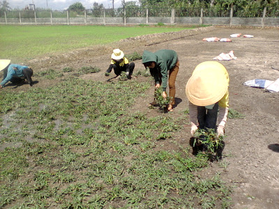 trồng cỏ lá gừng