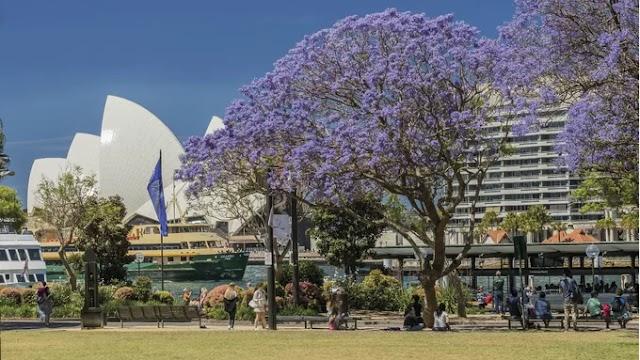 Purple phoenix flowers in Australia