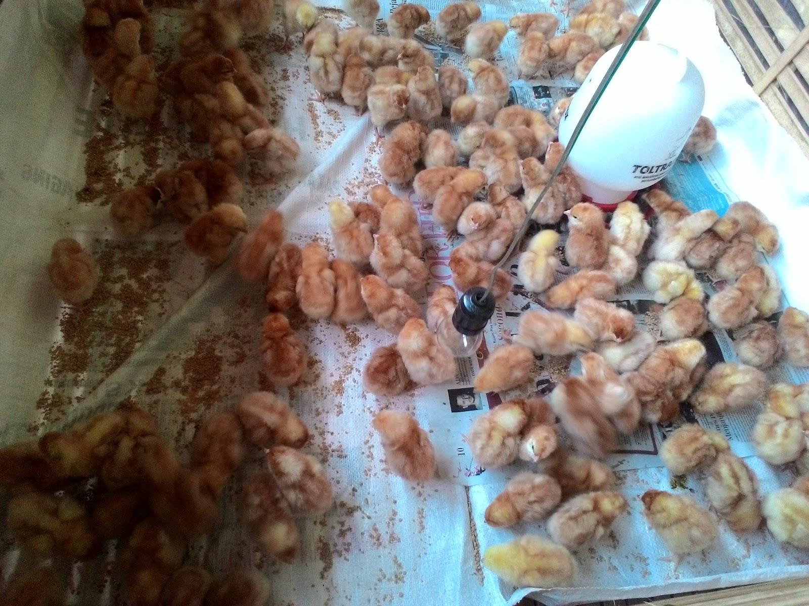 Peternakan Telur Ayam Negeri yang Sukses | Bisnis Telur