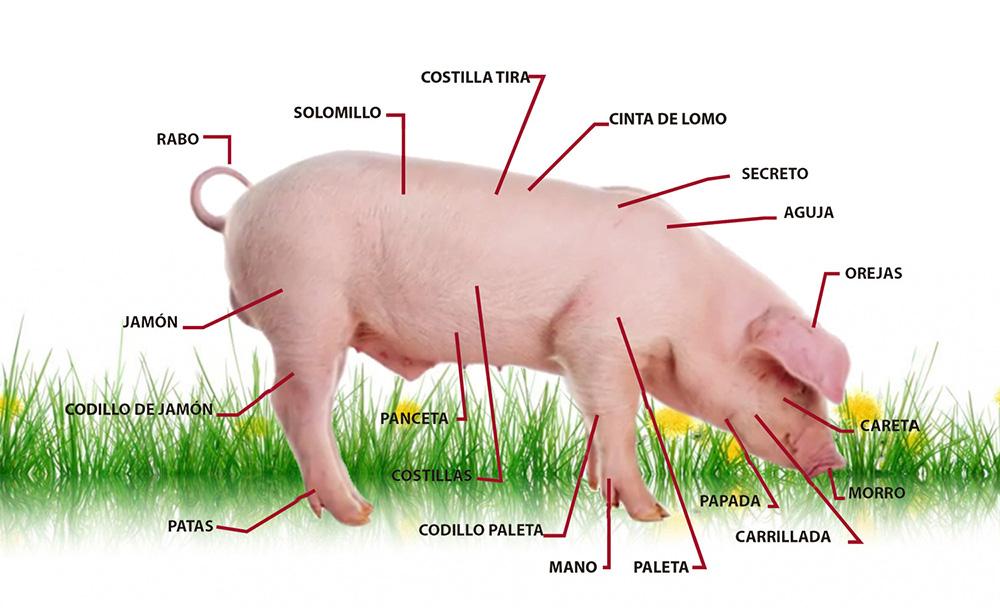 Magnífico Anatomía Del Cerdo Ilustración - Anatomía de Las ...
