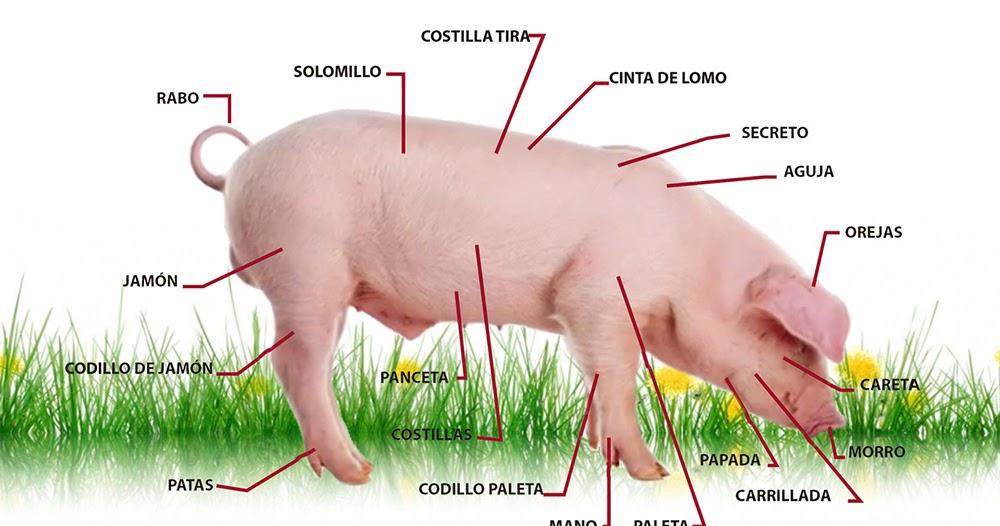 Fantástico Anatomía Cerdo Macho Galería - Imágenes de Anatomía ...