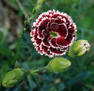 Cara menanam dan merawat bunga anyelir dengan mudah