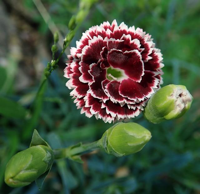 Cara menanam bunga anyelir