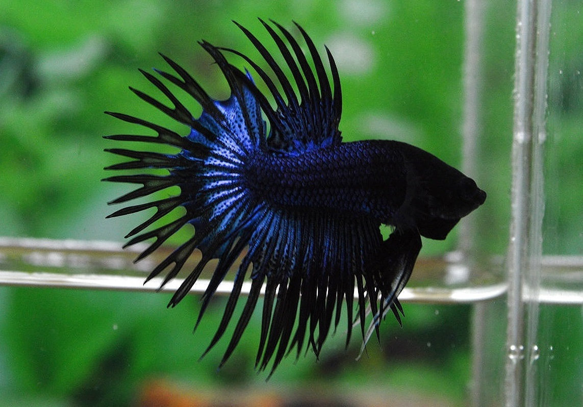 Picking a name for your betta fish is a big deal Youll want to choose a fitting name for your betta thats fun cute punny or unique Betta fish are known for