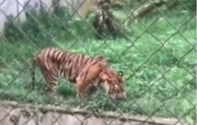 Miris, harimau di Kebun Binatang Medan kini makan rumput
